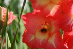 """Drama"" Gladiola ..... Bee at Work"