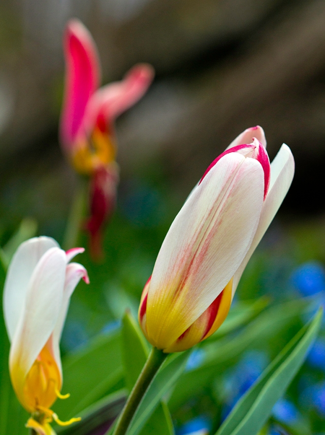 Beautiful and Unusual Tulips