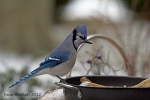 Blue Jay at the Water Dish