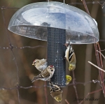 Gold Finches and Redpolls at the Finch Feeder