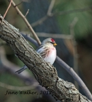 Redpoll overseeing the garden
