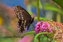 Black Swallowtail signed for blog
