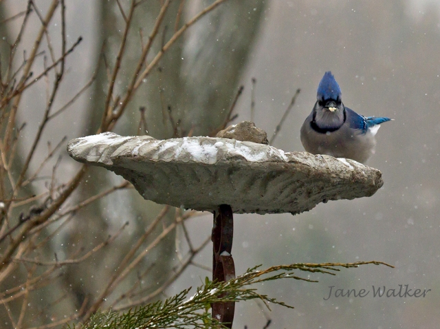 Blue Jay in the Leaf Feeder
