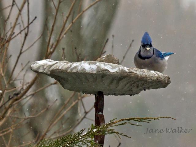 Blue Jay in the Leaf Feeder