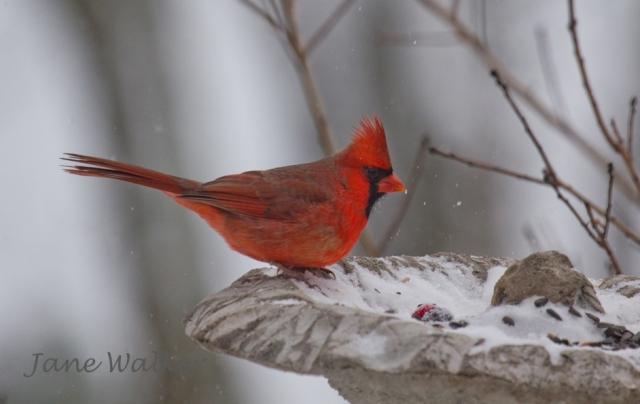 Cardinal in Leaf Feeder