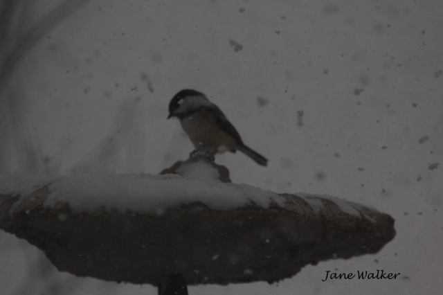 Chickadee in the Storm