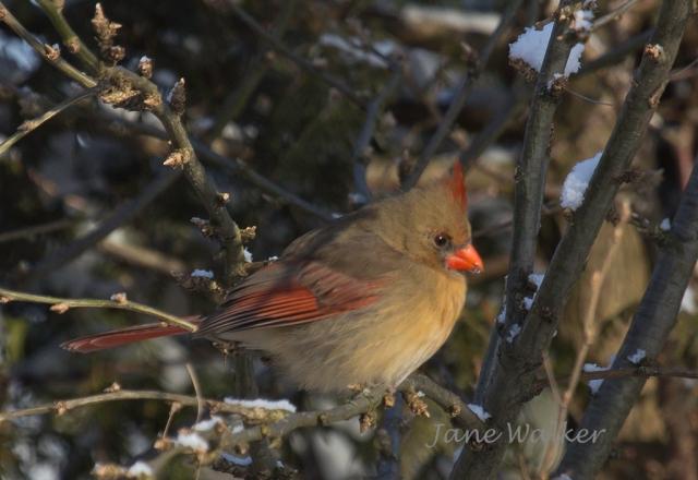 IMG_9345 -Female Cardinal 1024 signed