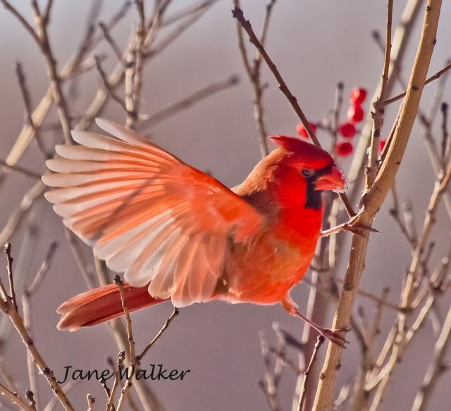 Male Northern  Cardinal Landing