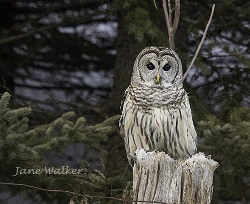 _MG_8797-Barred Owl  on Roadside-1024 signed