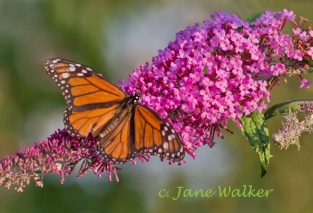 Monarch on Butterfly Bush