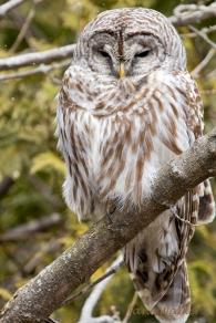 Barred Owl Awake