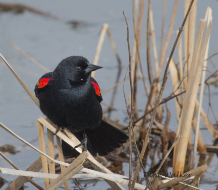 Red-Winged Blackbird Looking for Nestring Materials