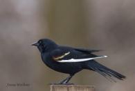 Blackbird with Unusual White Marking