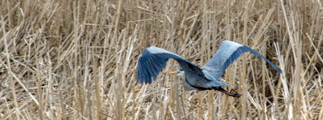 First Sighting of the Great Blue Heron