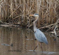 Great Blue on April 2nd