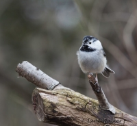Leisistic Chickadee (notice the speckled head)