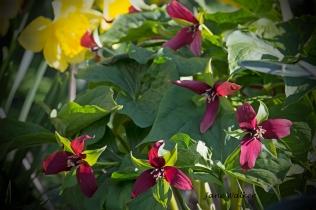 Red Trilliums
