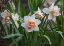 White and Orange Narcissus