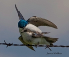 The mating ritual of a pair of tree swallows at Carden Alvar.