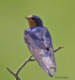 Barm swallow posing for visitors