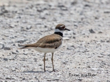 Kildeer walking along the road