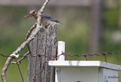 Eastern Bluebird waiting to enter birdbox 10.