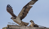 Ospreys seen along the road neat Carden Alvar