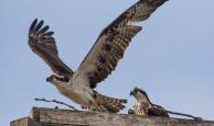 Ospreys seen along the road neat Carden Alvar
