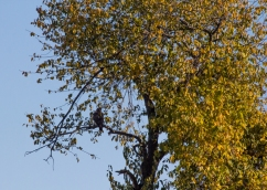 Hawk Nearly Invisible in Maple