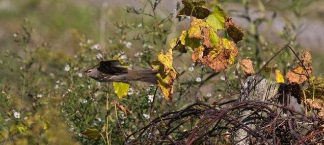Brown Bird in Flight