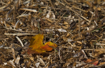 Fallen Leaf in Soybean Stubble