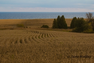 Corn Fields along Lake Ontario