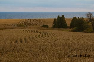 Corn Fields along Lake Ontario