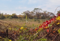 Virginia Creeper and Soybean Field