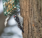 Male Downy at Suet Feeder