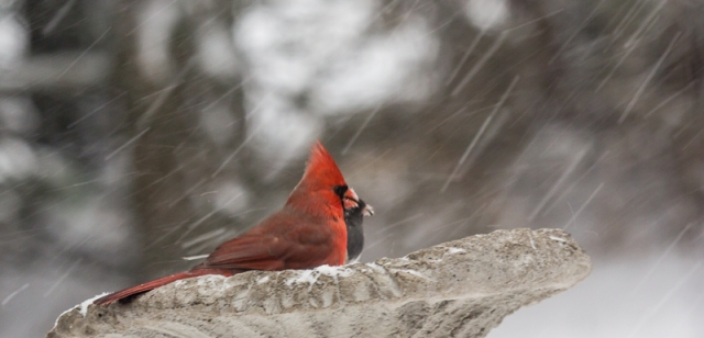 "Cardinal and Junco ""sharing"" black-oiled sunflower seeds."