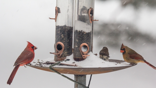 Feeder nearly empty but there's a port for each of the cardinals and the junco