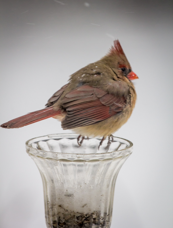 "Female cardinal at the recycled solar light ""feeder""."