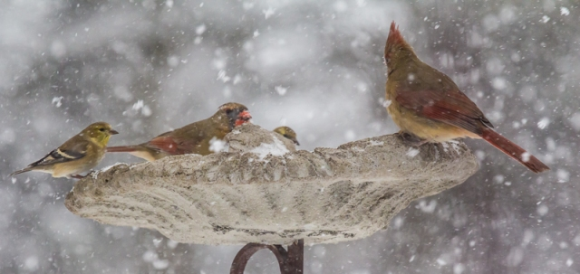 We can barely see the seeds.....cardinals and gold finch.