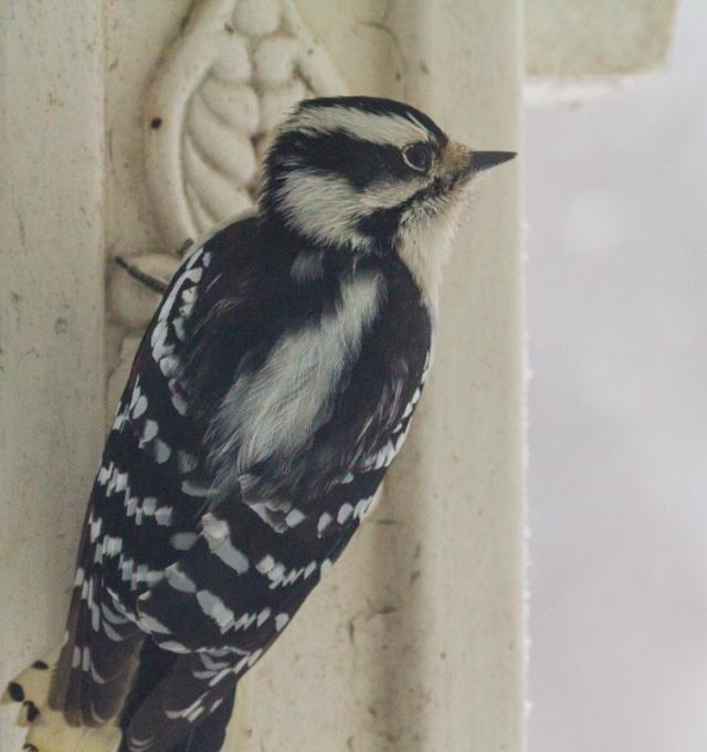 Downy woodpecker on veranda taking refuge from the snow storm.
