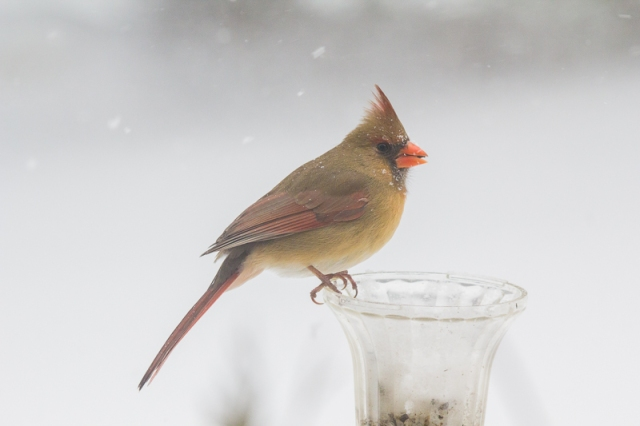 Finally, the wind's died down. Female cardinal at the home-made feeder.