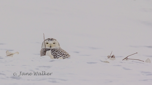Snowy Owl Peeking Over Drift