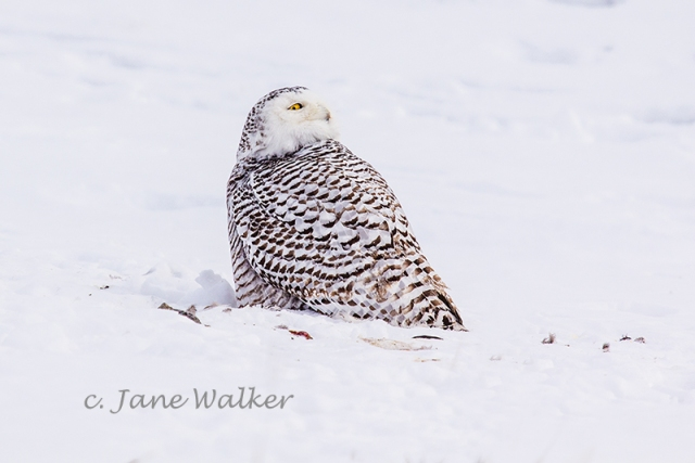 Snowy Owl in Profile