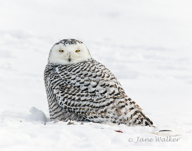 Snowy Owl Looking at Me
