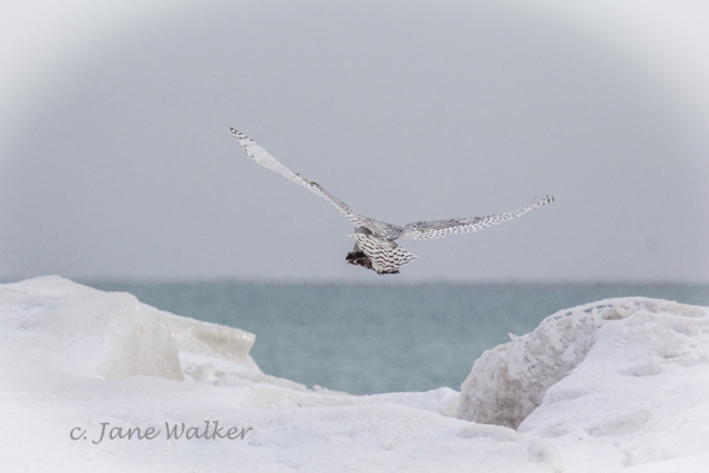 Snowy Owl Heading for the Lighthouse