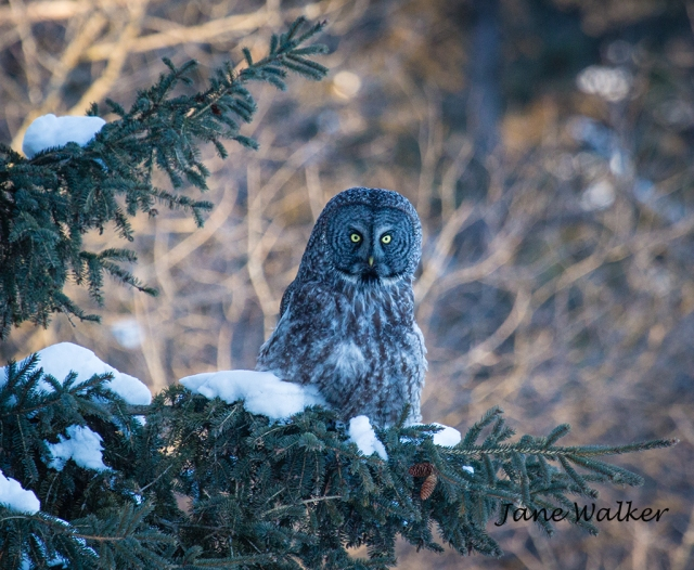 Great Gray Perched