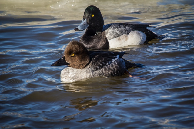 Female Goldeneye and Male Greater Scaup