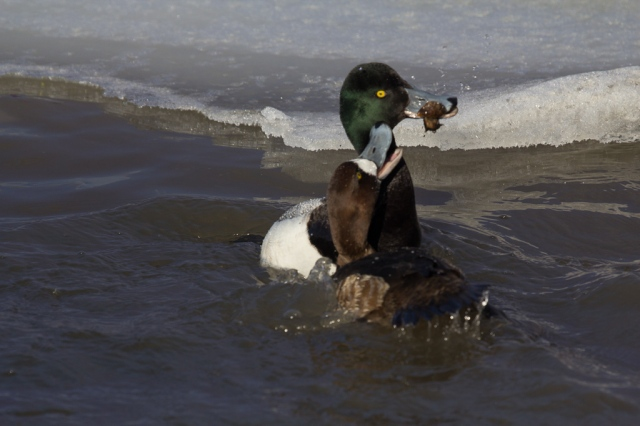 Scaup with Zebra Mussel