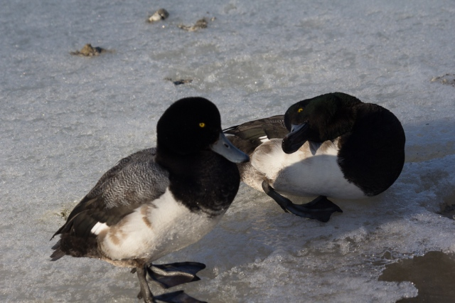 Scaups having a discussion