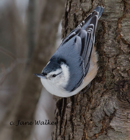 White Breasted Nuthatch